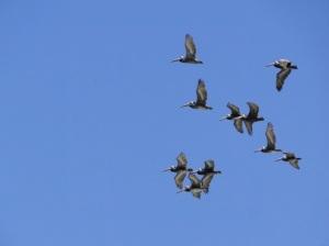 Pelicanos no Pacífico - em Isla Negra